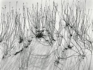 Scrub, White Sands, 1946 by Brett Weston