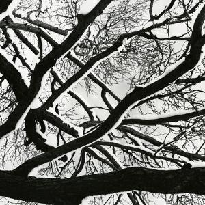 Snow, Tree, c. 1970 by Brett Weston