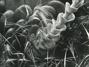 Succulent and Plants, 1949 by Brett Weston