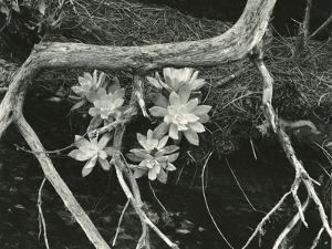 Succulent, Point Lobos, 1951 by Brett Weston