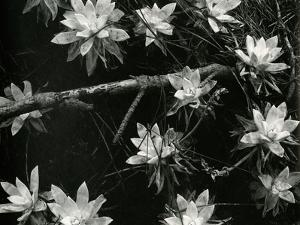 Succulents, c. 1950 by Brett Weston