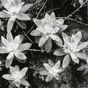 Succulents, Point Lobos, 1951 by Brett Weston
