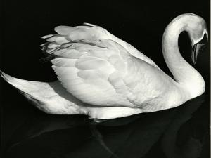 Swan, Europe, 1971 by Brett Weston