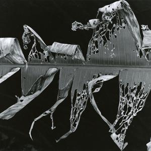 Torn Leaf, Hawaii, 1978 by Brett Weston