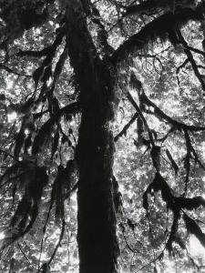 Tree, 1957 by Brett Weston
