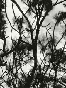 Tree and Snow, 1964 by Brett Weston