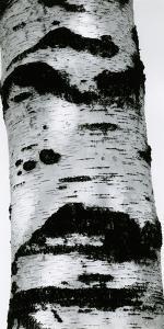 Tree Bark, 1960 by Brett Weston