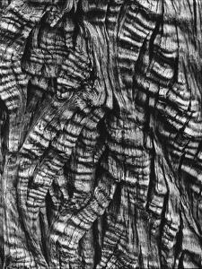 Tree Bark, c. 1950 by Brett Weston