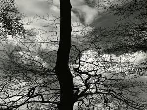 Tree, Holland, c. 1970 by Brett Weston