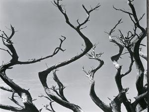 Trees, c. 1935 by Brett Weston