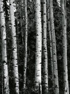 Trees, c. 1970 by Brett Weston