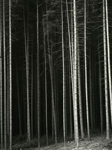 Trees, Germany, 1971 by Brett Weston