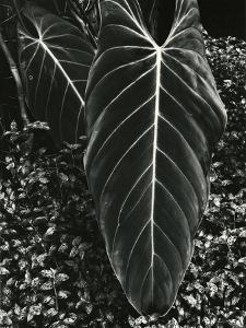 Tropical Leaves, 1944 by Brett Weston