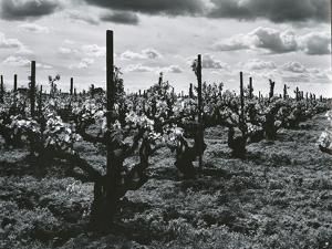 Vineyard, Landscape, c. 1955 by Brett Weston