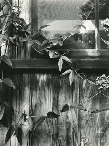 Window and Vines, 1952 by Brett Weston