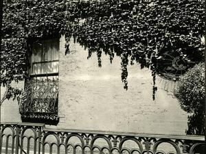 Window, Ivy On Wall, New York, 1945 by Brett Weston