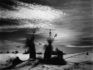 Yucca and Dunes, White Sands, 1947 by Brett Weston