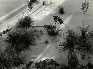 Yucca, White Sands, 1946 by Brett Weston