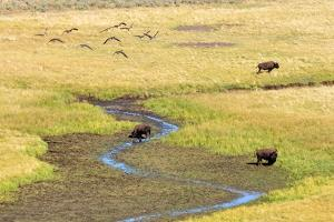 Canadian Geese and Bison, Yellowstone by Brian Bruner