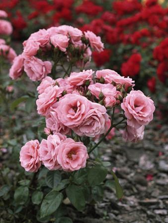 "Rosa ""Tanope"" (Floribunda Patio Rose) by Brian Carter"