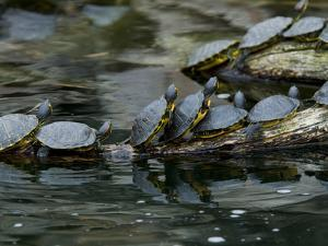 11 Turtles Bask on a Log in the Sun by Brian Gordon Green