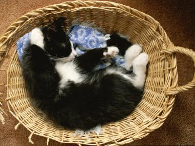 A Black-And-White Domestic Short-Hair Kitten Sleeps in His Basket by Brian Gordon Green