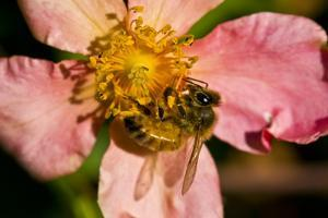A Honeybee Gathers Pollen from a China Rose by Brian Gordon Green