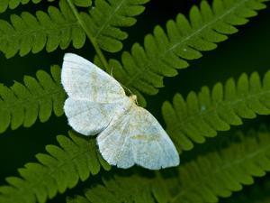 A Looper Moth Resting on a Fern Leaf by Brian Gordon Green