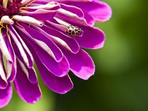 An Extreme Close Up of a Purple Zinnia Flower with a Ladybug by Brian Gordon Green