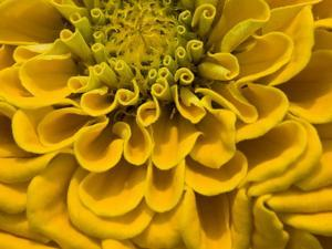 An Extreme Close Up of a Yellow Zinnia Flower by Brian Gordon Green