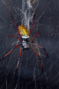 An Orbweaver Spider Crawls on its Web by Brian Gordon Green