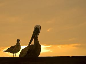 Brown Pelican and a Gull Resting at Twilight by Brian Gordon Green