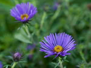 Close Up of a Blue Aster Flower by Brian Gordon Green