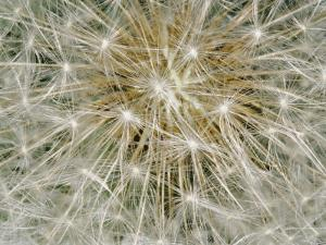 Close-up of a Common Dandelion by Brian Gordon Green
