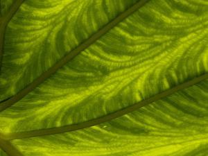 Close Up of a Large Leaf, with the Internal Veins Visible by Brian Gordon Green