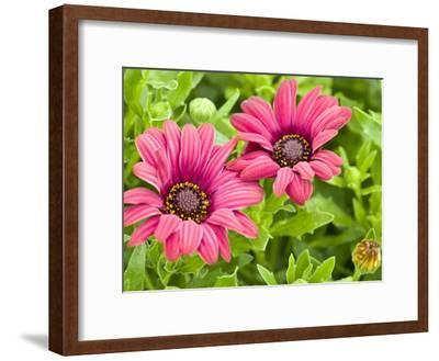 Close-Up of Pink African Daisies, Osteospermum, Asteraceae