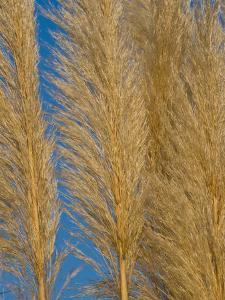 Close-Up of Sea Oats by Brian Gordon Green