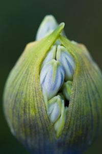 Close Up of the Unopened Inflorescence of a Blue Flower by Brian Gordon Green