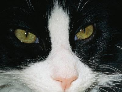 Close View of a Black and White Tabby Cat