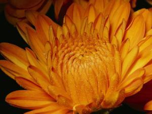 Close View of Golden Marigold Sprinkled with Pollen by Brian Gordon Green