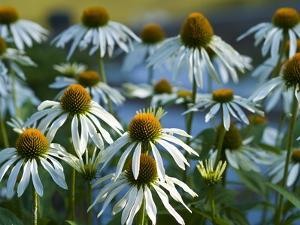 Cluster of White Coneflowers by Brian Gordon Green