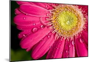 Dew Drops on a Pink Daisy by Brian Gordon Green