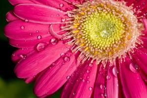 Dew Drops on a Pink Daisy by Brian Gordon Green