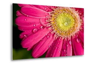 Dew Drops on a Pink Daisy