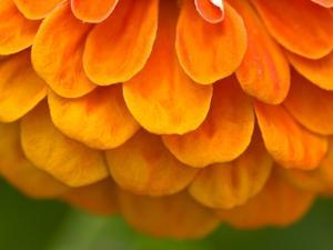 Extreme Close-Up of an Orange Zinnia Flower by Brian Gordon Green