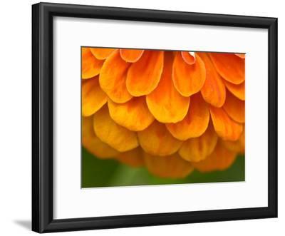 Extreme Close-Up of an Orange Zinnia Flower