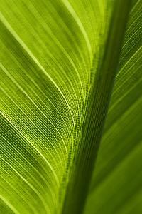 Light Shines Through a Green Bird of Paradise Leaf by Brian Gordon Green