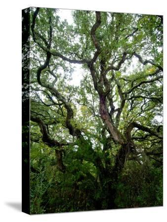 Looking Up into the Branches of a Live Oak Tree