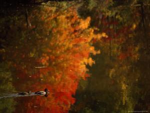 Mallard and Its Mate Create a Wake in a Colorful Fall Scene by Brian Gordon Green