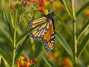 Monarch Butterfly Sipping Nectar from a Flower by Brian Gordon Green